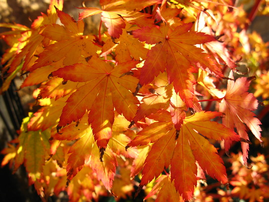 Leaves of the Sangokaku -1 (acer)