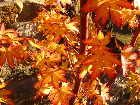 Leaves of the Sangokaku -2 (acer)