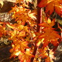 Leaves of the Sangokaku -2 (acer)