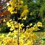 Ginkgo in October (Ginkgo biloba (Maidenhair tree))