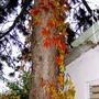 Virginia creeper (Parthenocissus quinquefolia (Virginia creeper))