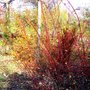 Dogwood in November (Cornus Sibirica)