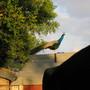 A Peacock In My Garden