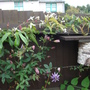 Passionflower_clematis_1