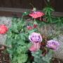 poppies 2 (Papaver somniferum)