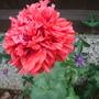 Poppy - red, ruffled (Papaver somniferum)