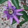 Purple passionflower (Passiflora violacea)