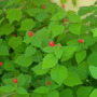 Malvaviscus arboreus - Mexican Turk&#x27;s Cap  (Malvaviscus arboreus - Mexican Turk&#x27;s Cap)