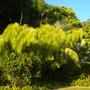 Otatea acuminata aztecorum - Mexican Weeping Bamboo (Otatea acuminata aztecorum - Mexican Weeping Bamboo)