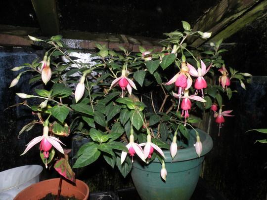 Fuchsia celia smedley