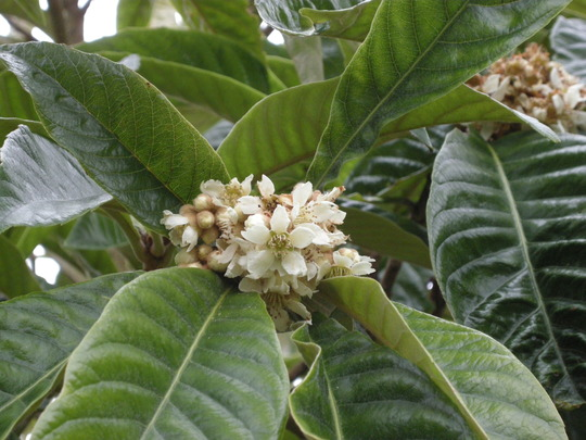 Loquat (Eriobotrya japonica (Loquat))