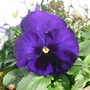 Purple Pansy in Pot