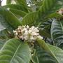 Loquat in flower (Eriobotrya japonica (Loquat))