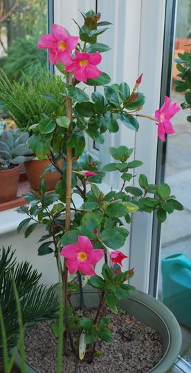 Mandevilla in the garden room.... (Mandevilla)
