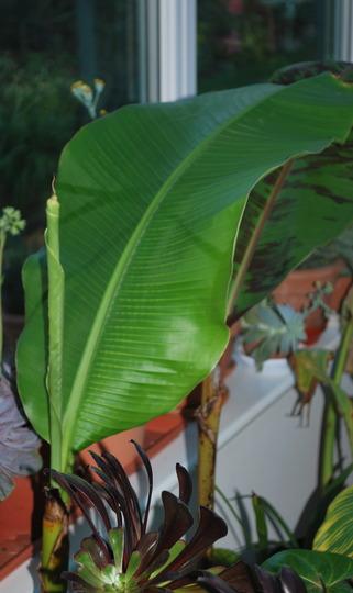 Banana with new leaf..... (Musa basjoo (Japanese banana))