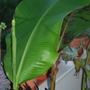 Banana with new leaf..... (Musa basjoo (Japanese banana))