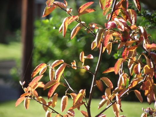 snowy melbelis (amelancher canadenis)