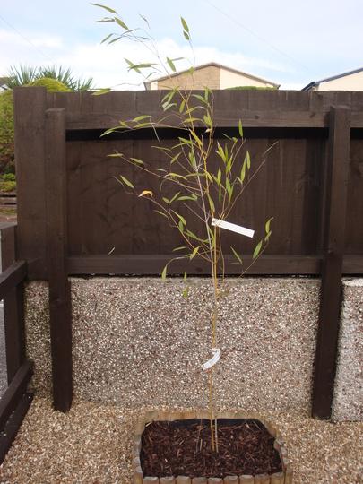 Bamboo - Yellow groove (Phyllostachys aureosulcata (Spectabilis))