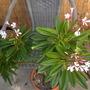 Plumeria obtusa 'Dwarf Singapore Pink'  - Dwarf Pink Singapore Plumeria (Plumeria obtusa 'Dwarf Singapore Pink'  - Dwarf Pink Singapore Plumeria)