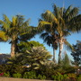 Howea fosteriana  - Kentia Palms at entrance at Sea World San Diego, CA. (Howea fosteriana  - Kentia Palm)