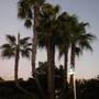 Washingtonia robusta - Mexican Fan Palms as the sun goes down at Sea World (Washingtonia robusta - Mexican Fan Palm)