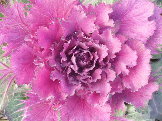 SDC10199 ornamental cabbage