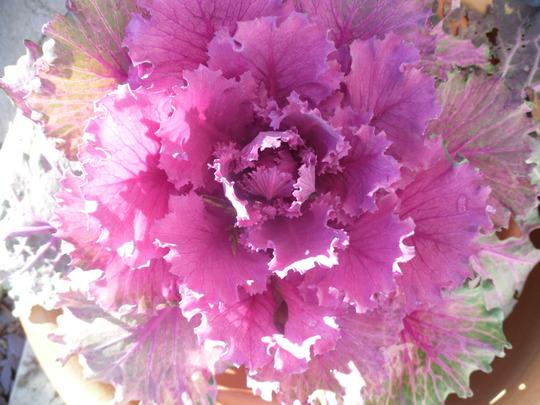SDC10197 ornamental cabbage