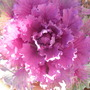 SDC10197 ornamental cabbage