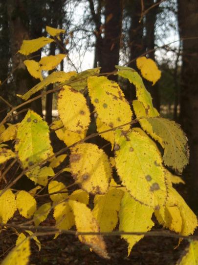 Elm leaves Dunsany wood