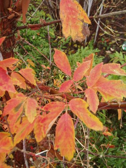 Acer griseum foliage colour