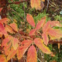 Acer griseum foliage colour