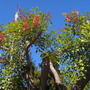 Erythrina crista-galli - Cockspur Coral Tree (Erythrina crista-galli - Cockspur Coral Tree)