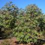 Ricinus communis - Castor Bean Tree (Ricinus communis - Castor Bean Tree)