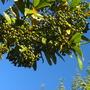 Pimenta dioica - Allspice Tree (Pimenta dioica - Allspice Tree)