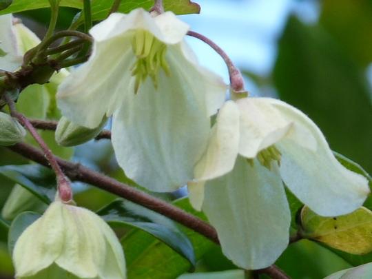 Wisley cream - close-up (Clematis cirrhosa (Clematis))