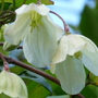 Wisley cream - close-up (Clematis cirrhosa (Clematis))