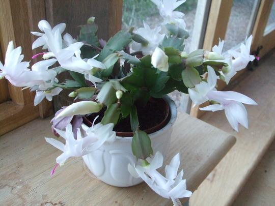 White Schlumbergera plant