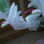 Schl._flower