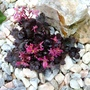 41_saxifraga_fort_black_ruby._9.11.10