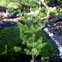 Pinus parviflora 'Venus'