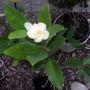 Magnolia virginiana 'Moonglow'  (Magnolia virginiana (Sweetbay magnolia))
