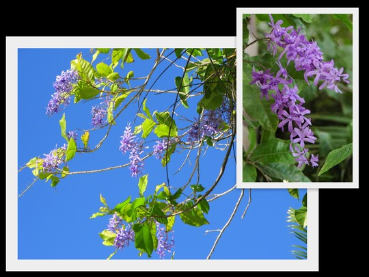 End-of-Spring Downunder: Petrea volubilis coming to the end of flowering (Petrea volubilis)