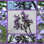 Jacaranda mimosifolia (Brazil Rosewood)