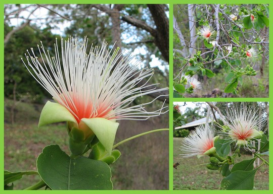 End-of-Spring Downunder: Planchonia careya (Cocky Apple) in bloom out in the bush (Planchonia careya)
