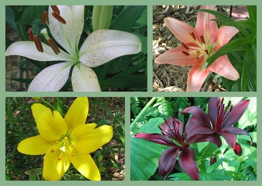 End-of-Spring Downunder:  Asiatic Lilies in flower (Lilium x hybrida)