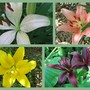 Asiatic_lilies_2