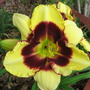 End-of-Spring Downunder: Hemerocallis 'Jamaican Me Crazy' (Hemerocallis)