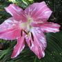 End-of-Spring Downunder: Oriental lily in bloom