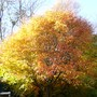 Acer_tree_nov_2010_006