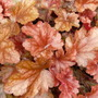 Heuchera `Peach Flambe`